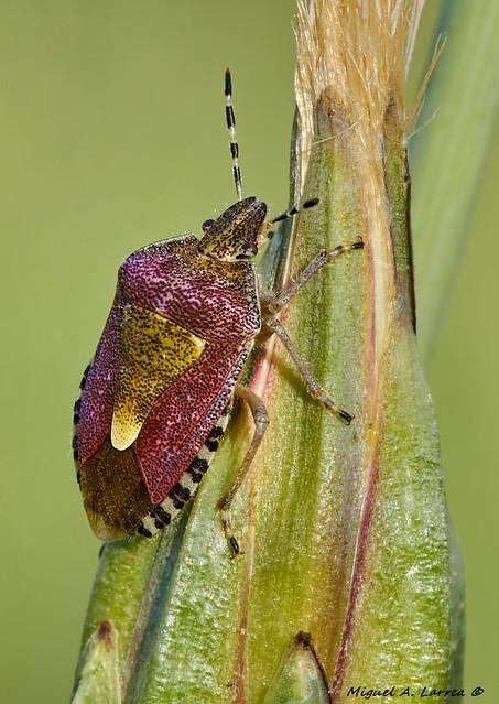 Dolycoris baccarum-1369