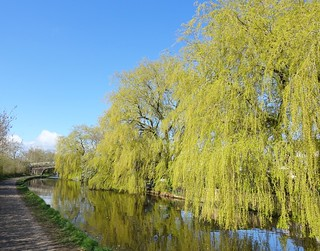 Canal willows | by Tony Worrall