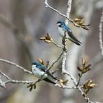 Tree swallow, Croton Point Park