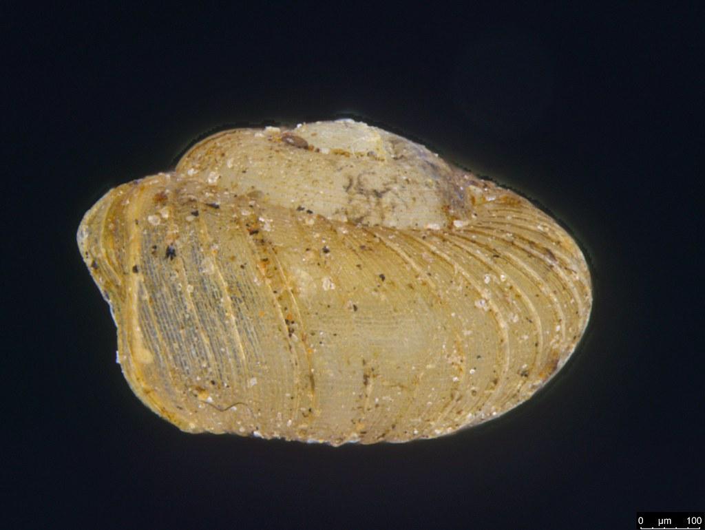 10a - Paralaoma sp.