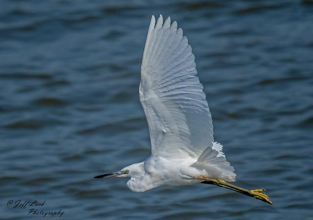 DSC2376  Little Egret..