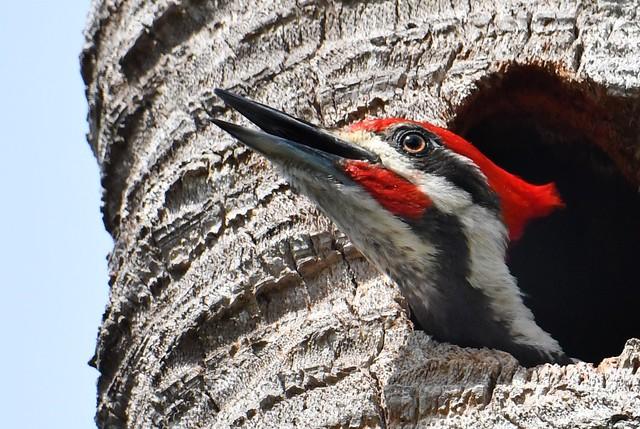 Make Pileated Woodpecker