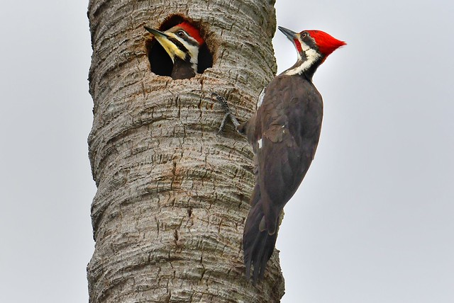 Nested Pair of Pileated Woodpeckers