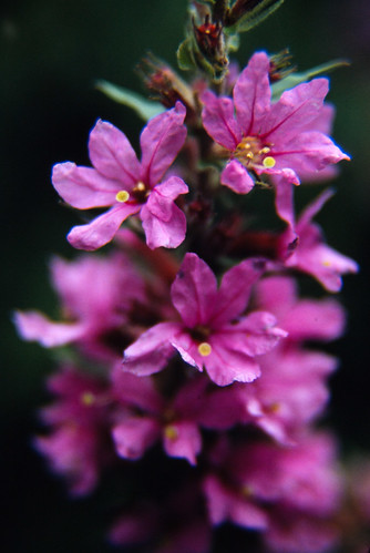 Pink Flowers (1)