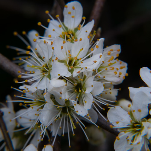 Blackthorn flowers, Langley Road