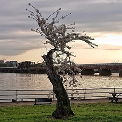 Windswept cherry tree at sunset, with Long Bridge trains :cherry_blossom: