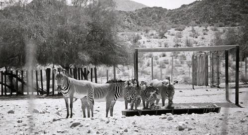 Zebras at The Living Desert