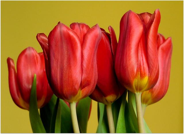 Tulipany  * EXPLORE