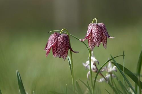 lapwing flower   (kievitsbloem)