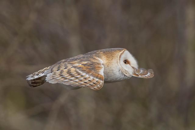 barn owl (7)
