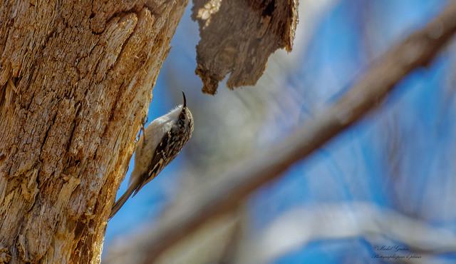 Grimpereau Brun - Brown Creeper - Certhia americana