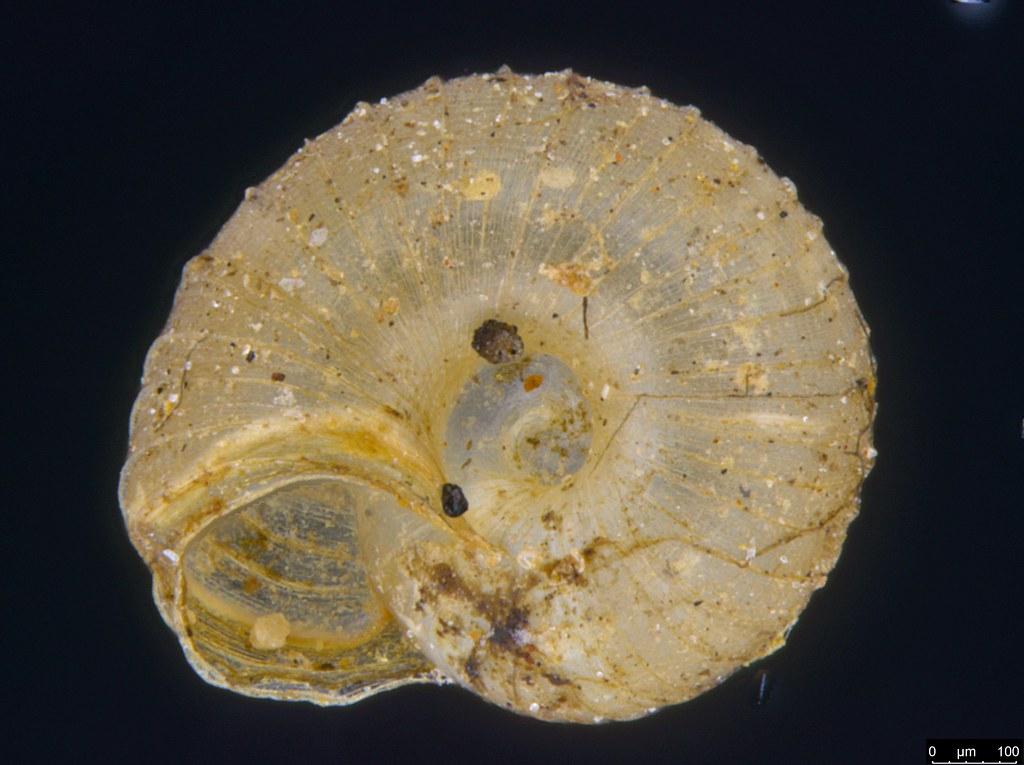 10c - Paralaoma sp.