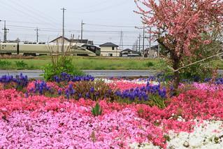 芝桜とトランスイート四季島