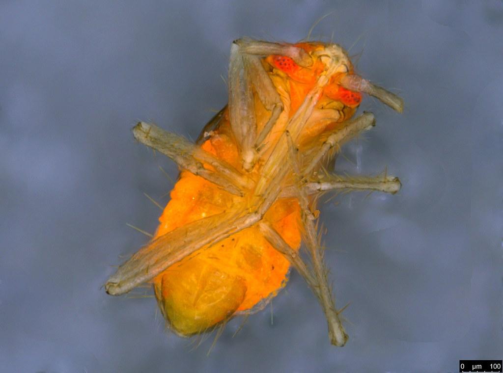 11b - Hemiptera sp.