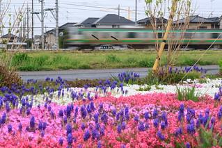 芝桜とE231系