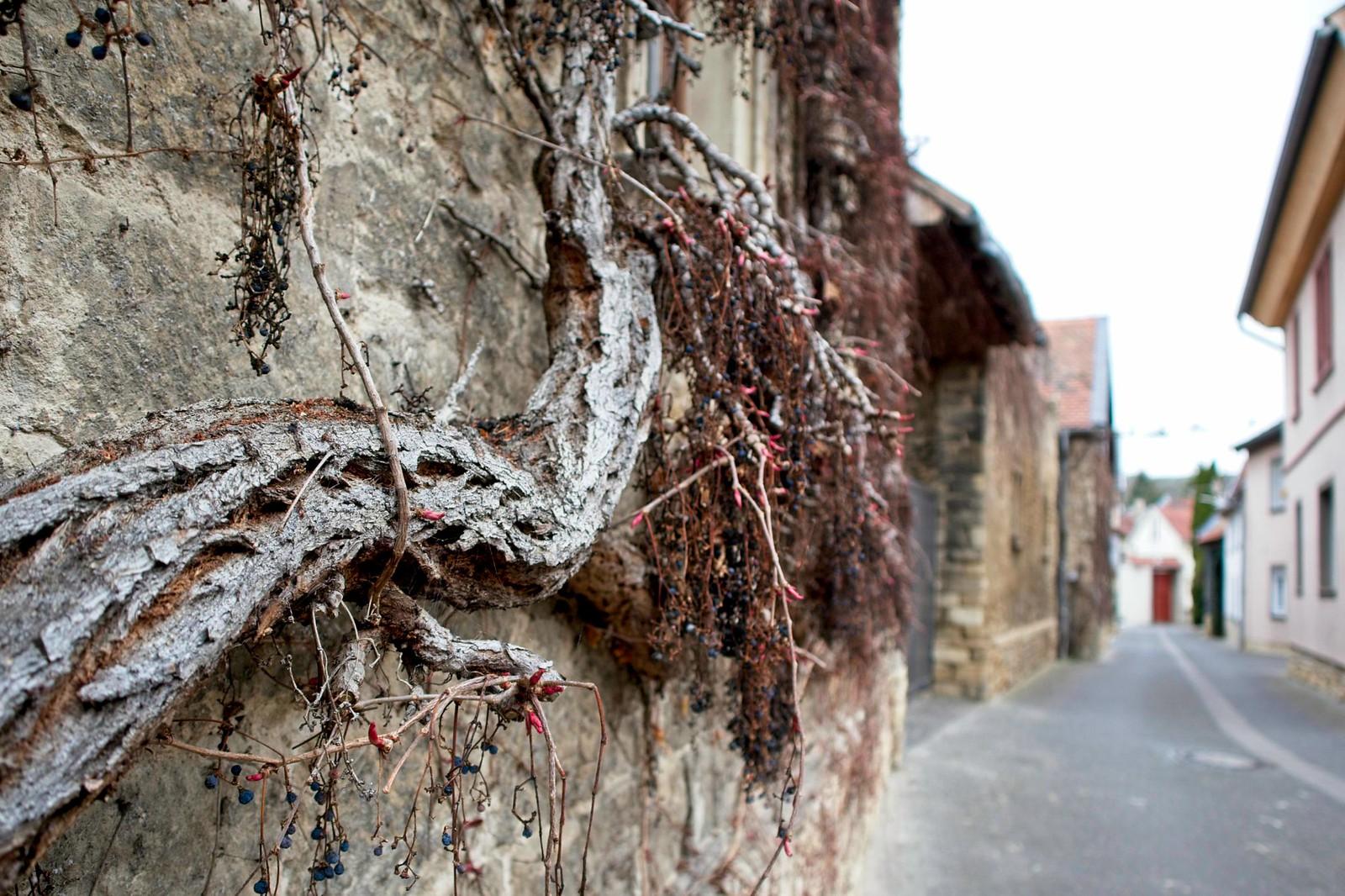Austreibende Weinreben an einer Hausmauer in Schwabenheim an der Selz