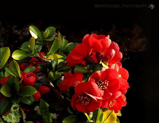 Japan Quince in blossom -  Cotogno del giappone. (Cydonia - Chaenomeles Speciosa Japonica) Photo by #WhiteANGEL