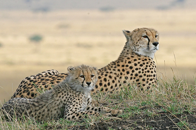 Cheetah  Kenya