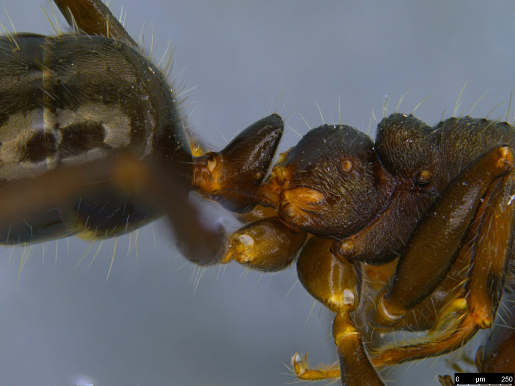 14b - Notoncus sp.