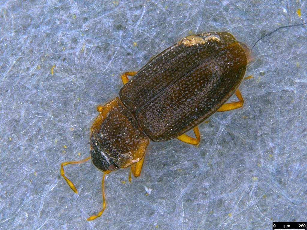 19a - Coleoptera sp.