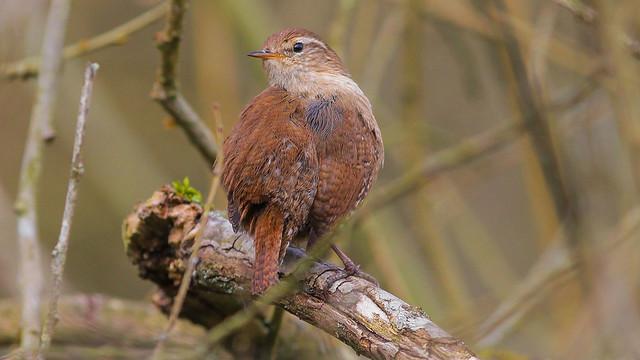 Woodland Wren...Sussex