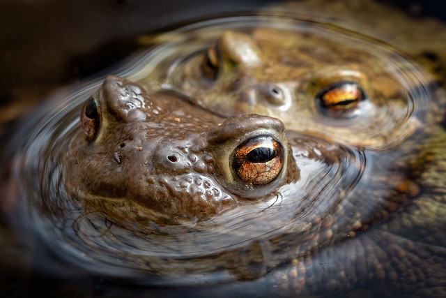 Erdkrötenpärchen mit Wasserkugelspringern und Springschwanz in einem Waldteich