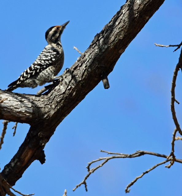 Ladder-backed woodpecker fem
