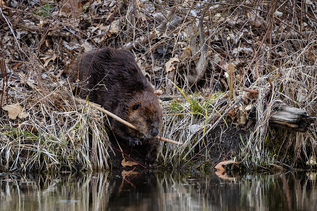 Beaver bringing a snack to the water