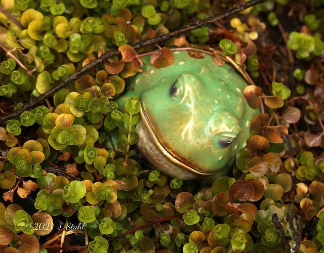 Frog- Mar 2021