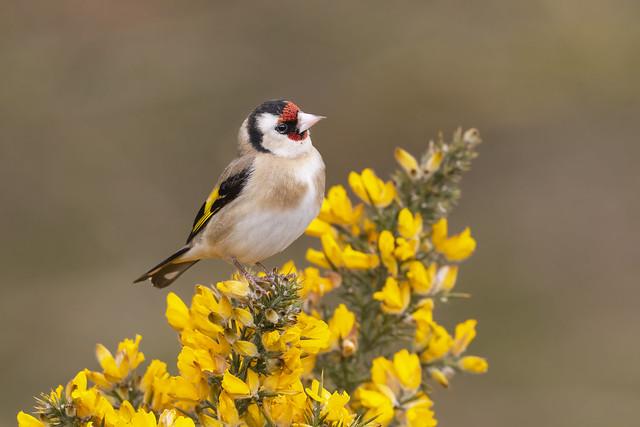 Goldfinch- Carduelis carduelis