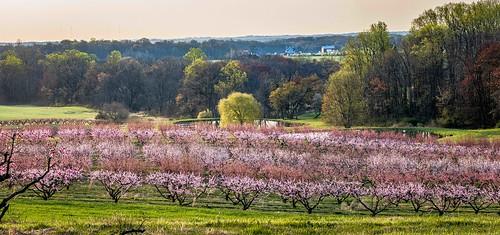 sunrise peachorchard montgomerycountymd landscape spring