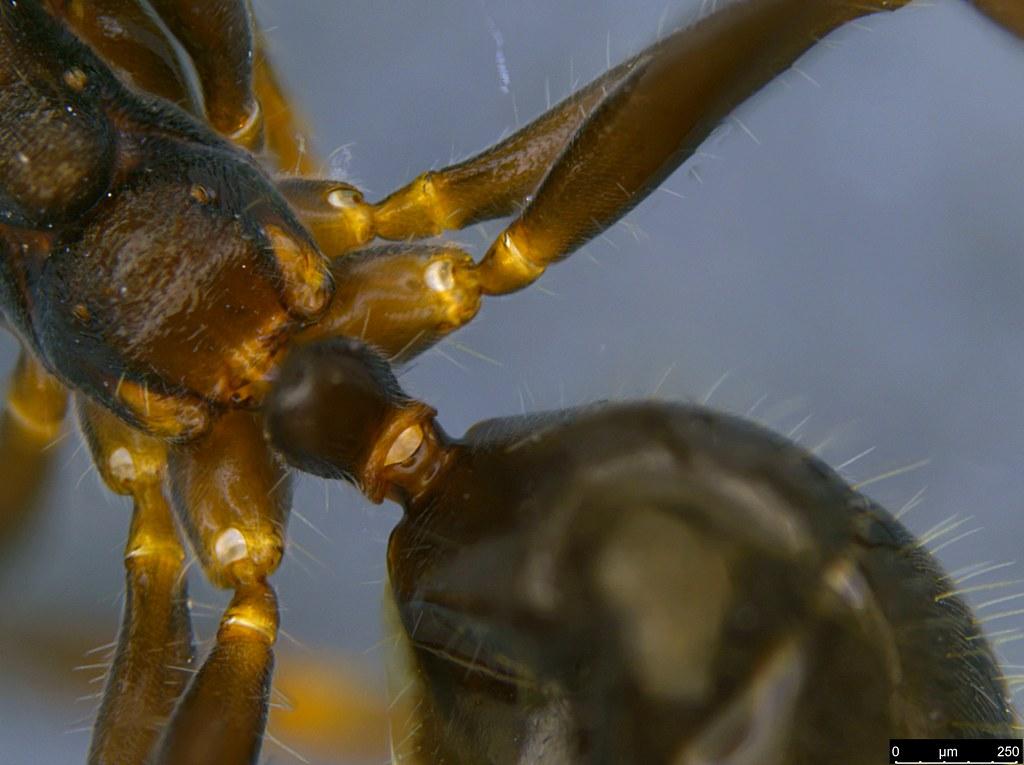 14d - Notoncus sp.