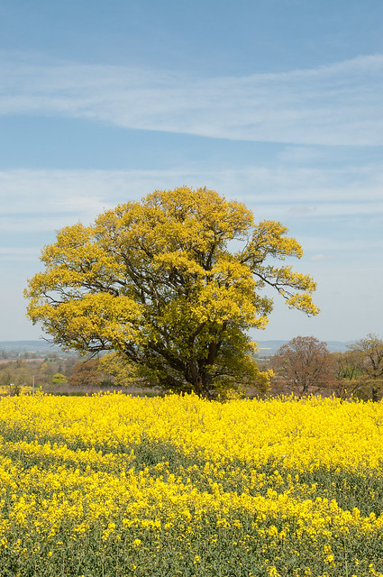 Old oak tree amongst the yellow fields of Canola