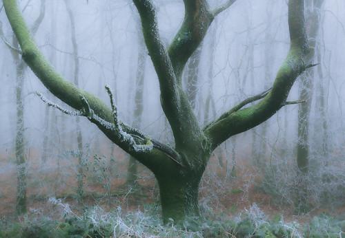 woodland forest nature ice hoarfrost frost winter oak tree trees weather somerset england britain landscape canon treeportrait