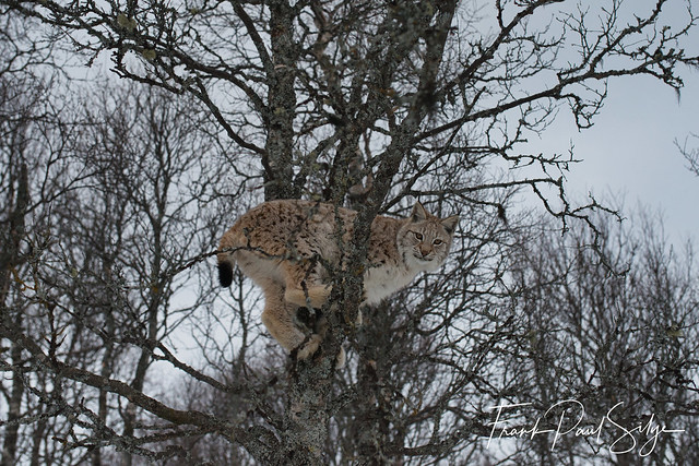 Lynx in the tree
