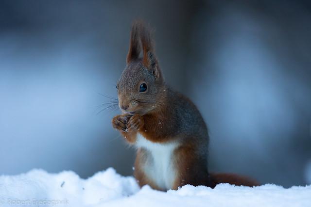 Ekorn - Squirrel - Explored