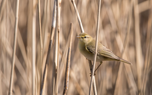 Willow warbler - Phylloscopus trochilus - Fitis