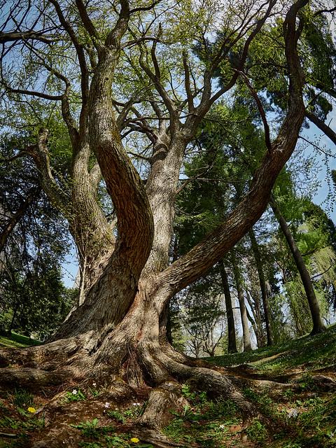 Majestic Tree - EMC60030