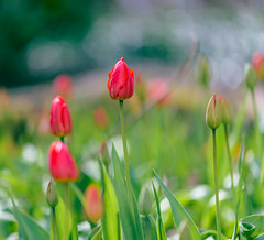 Tulips in the Park II