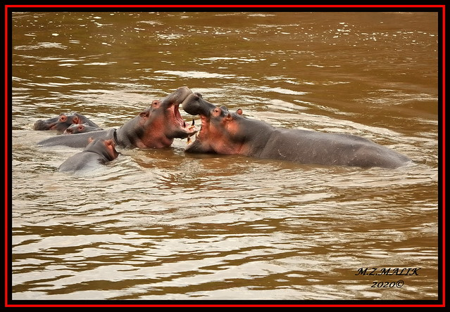 PAIR OF HIPPOPOTAMUS (Hippopotamus amphibius).....MASAI MARA.....OCT 2020