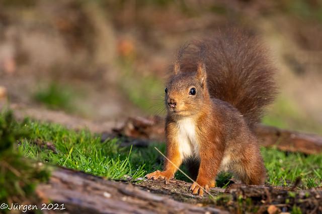 Eurasisches Eichhörnchen(Squirrel)