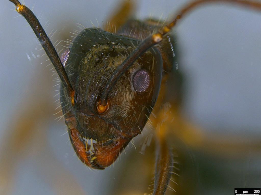 14c - Notoncus sp.