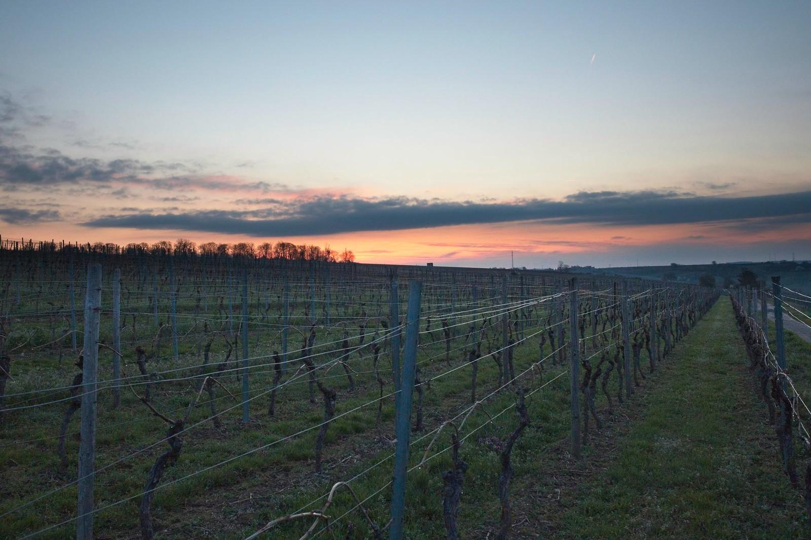 Morgendämmerung in den Weinbergen über Schabenheim an der Selz