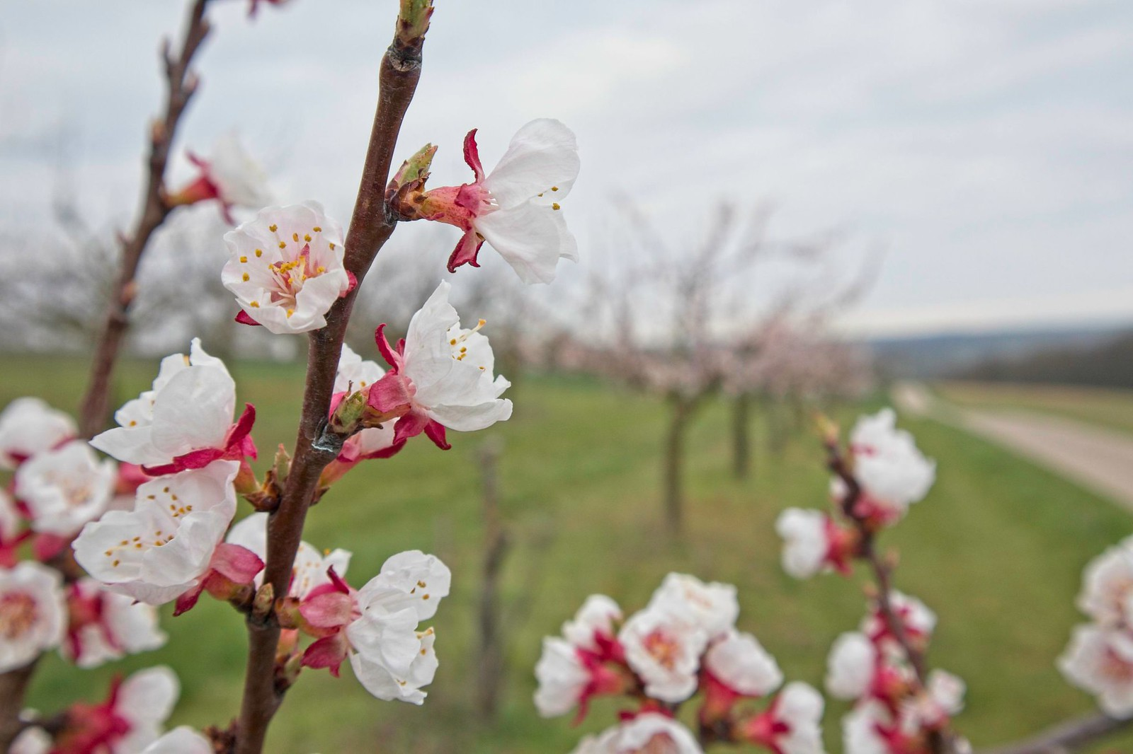Kirschblüten bei Schwabenheim an der Selz
