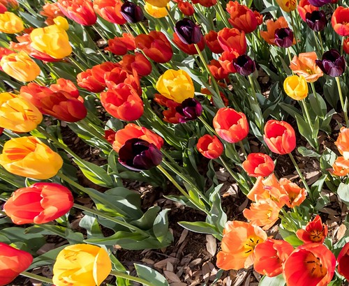 Spring 2021 Tulips & Other Blooms