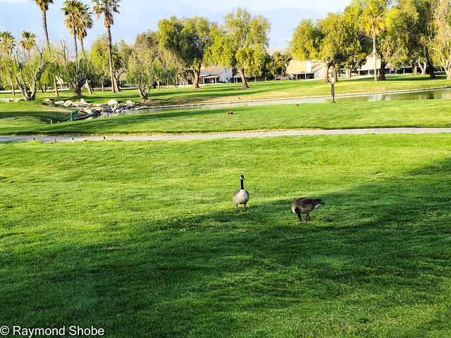 Geese in the afternoon sun,  Sun Lakes Country Club, Banning CA