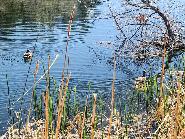Ducklings in the pond, Oak Glen Preserve.
