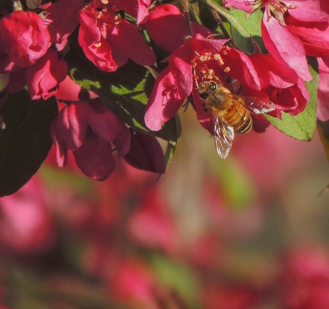 Crabapple Honey