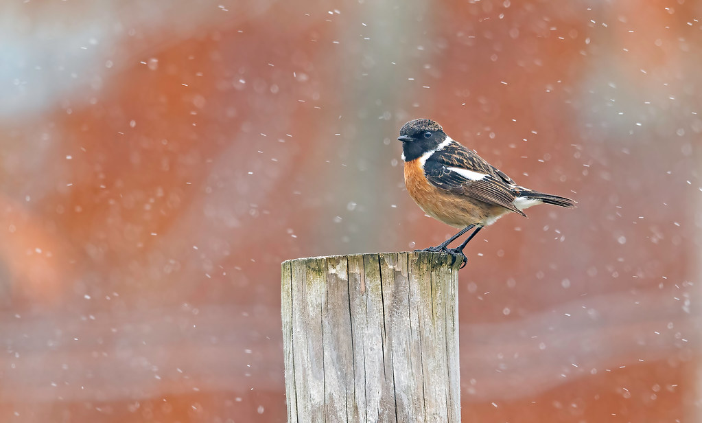Stonechat in the snow