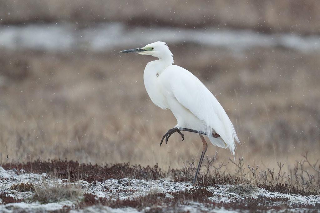 Mjallhegri-Great Egret-Casmerodius albus